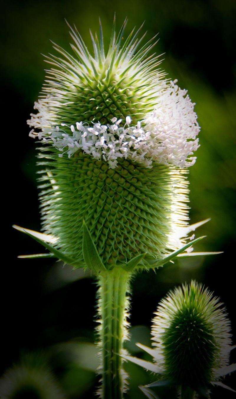 summer flowers schwechat thistles