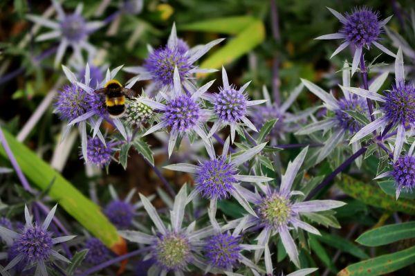 bumblebee on strange blue flowers, leeds castle