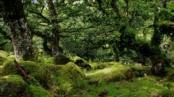 wistman's wood, dartmoor national park, devon
