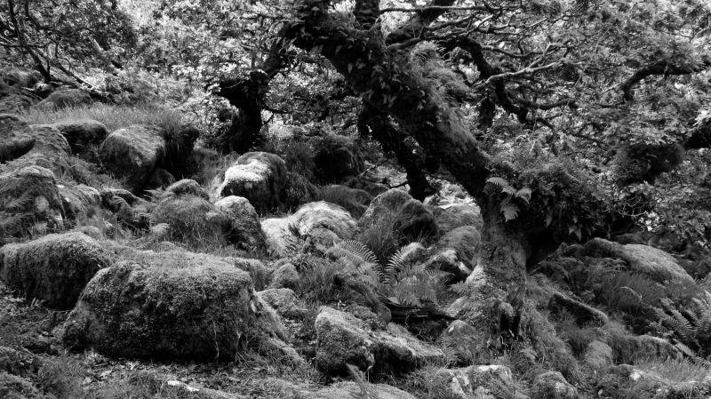wistman's wood, dartmoor n.p., devon