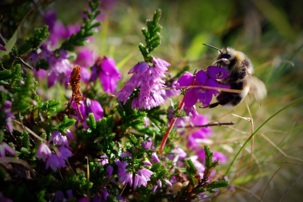 bee feeding on heather, exmoor