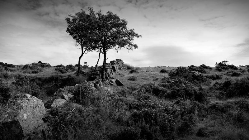 stone wall and tree in the moor, dartmoor