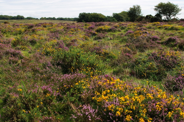 flowering heather and gorse, dartmoor