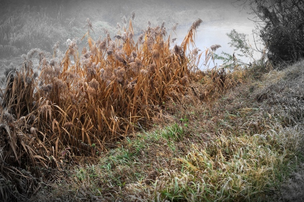 reeds and fog along schwechat creek