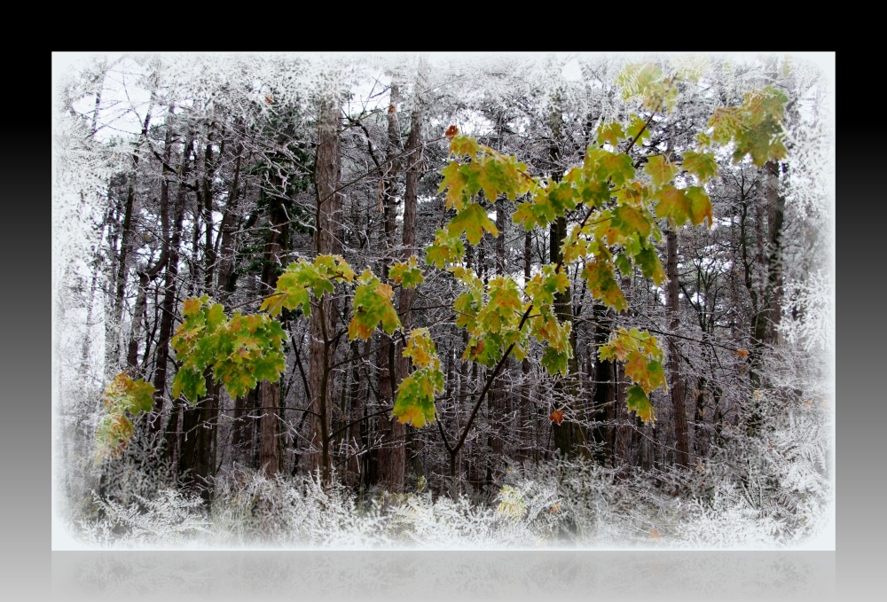 maple leaves among frosty trees
