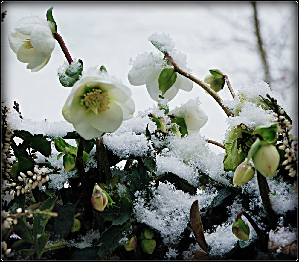 helleborus outside my window