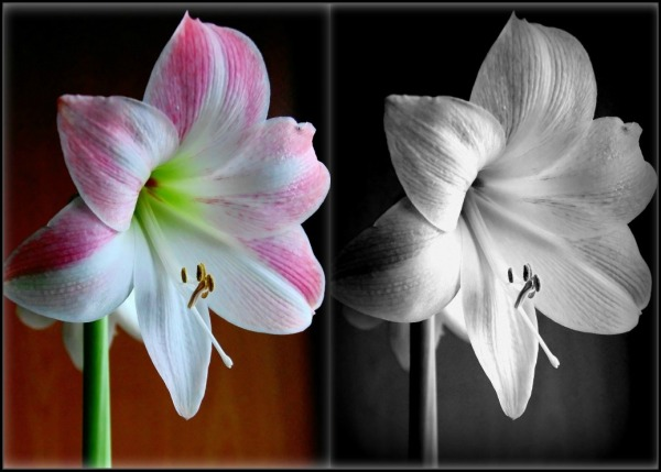 two pink amaryllis