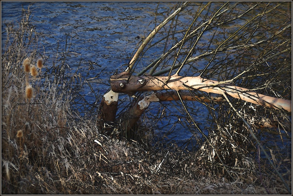 signs of beaver activity along the creek
