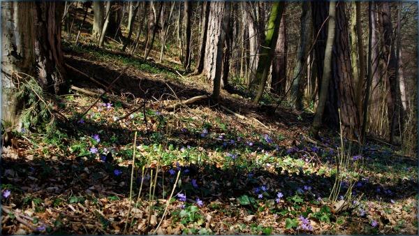 purple wood floor, vienna woods