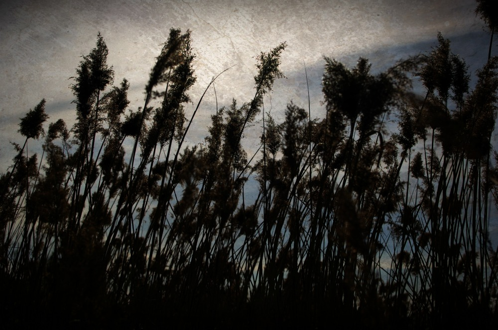 textured reeds against the sky tribus