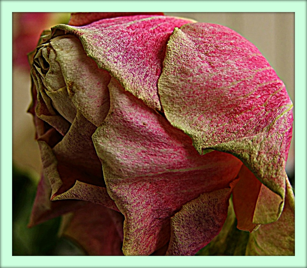 dying rose HDR