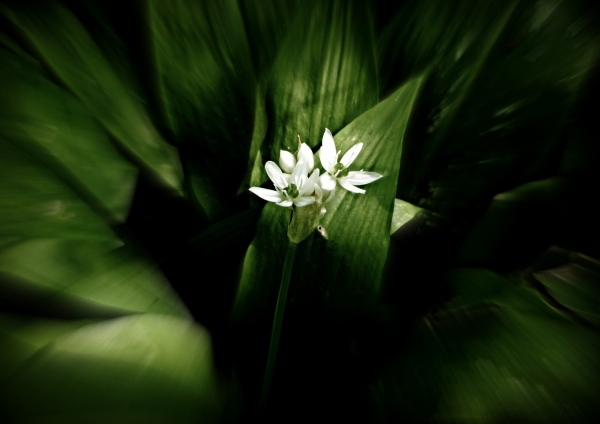 spring in the wilderness, wild garlic flower