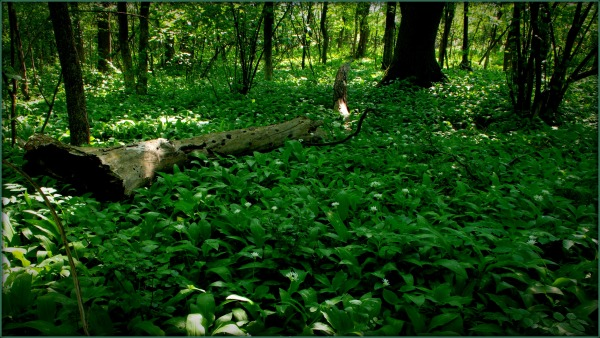 spring in the wilderness, wild garlic carpet