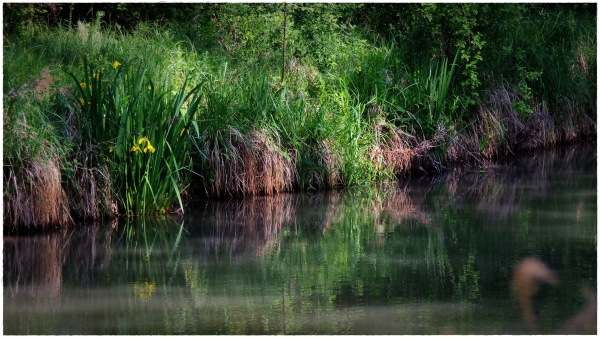 canal project 20f spring, yellow iris, banks,