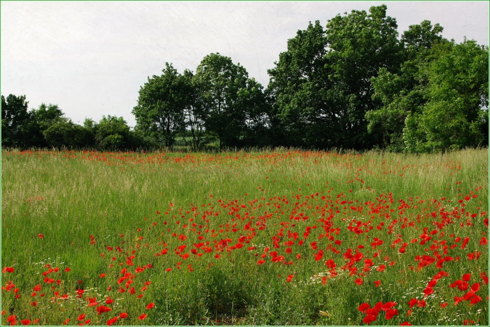 meadow full of poppies