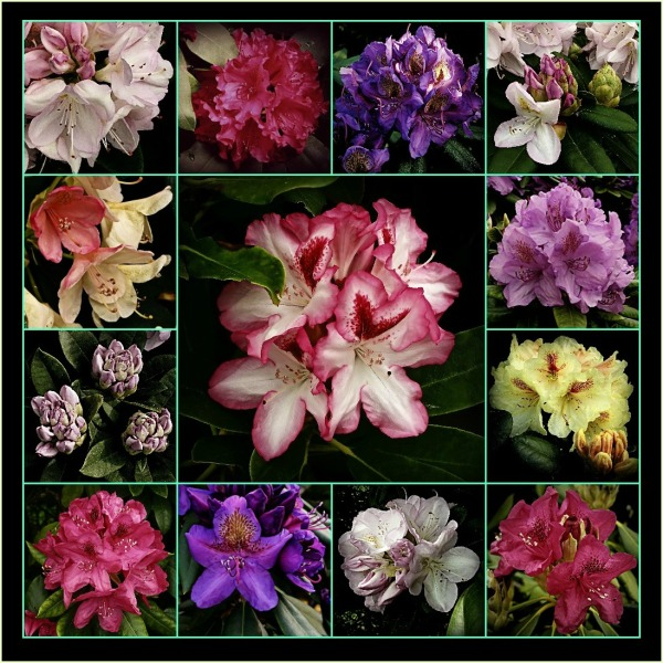 rhododendron collage, gritty