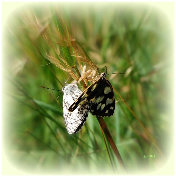 reproducing butterflies