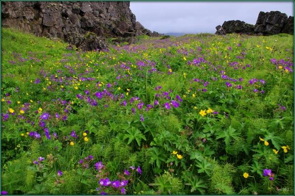iceland thingvellir summer flowers
