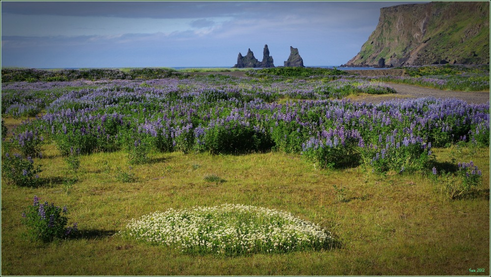 iceland, vik, beach, lupines, trolls