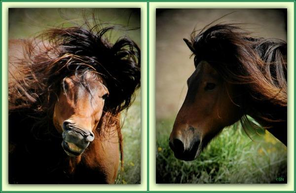 iceland, horses, wild hair