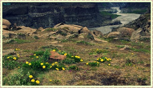 iceland, jökulsá, canyon, flowers