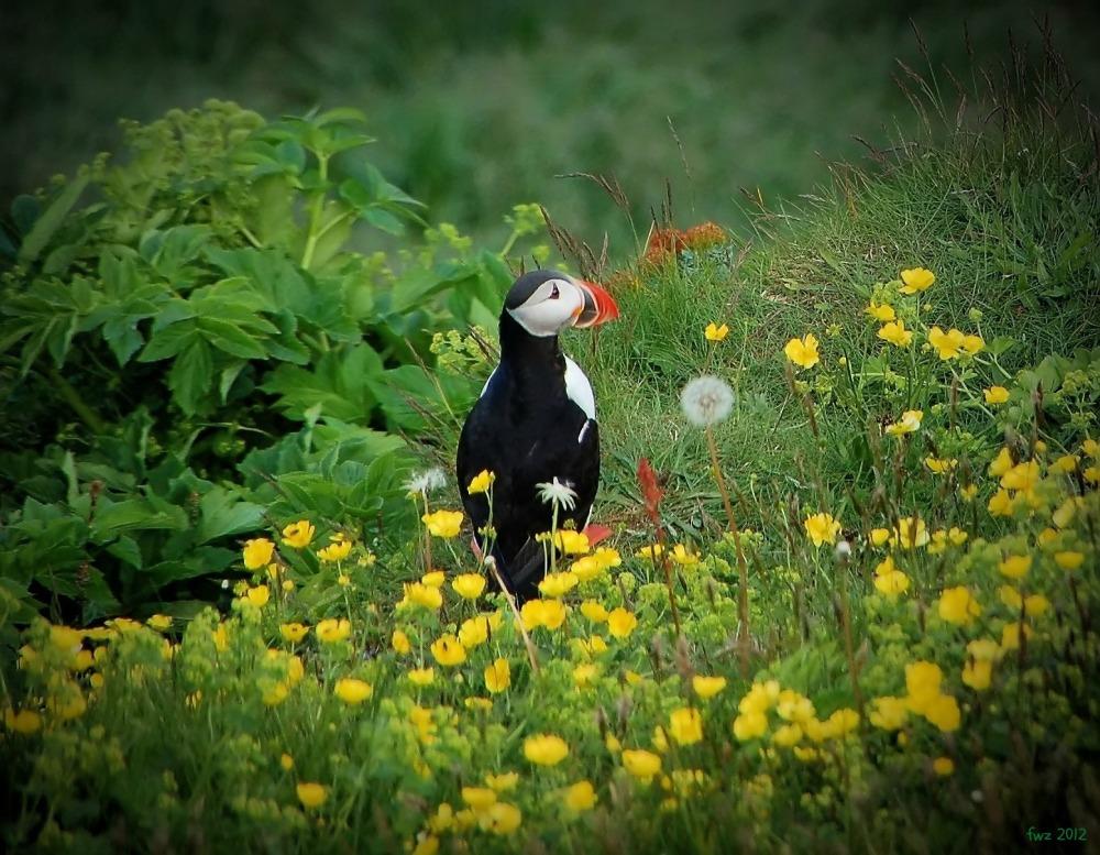 iceland, puffin, flower