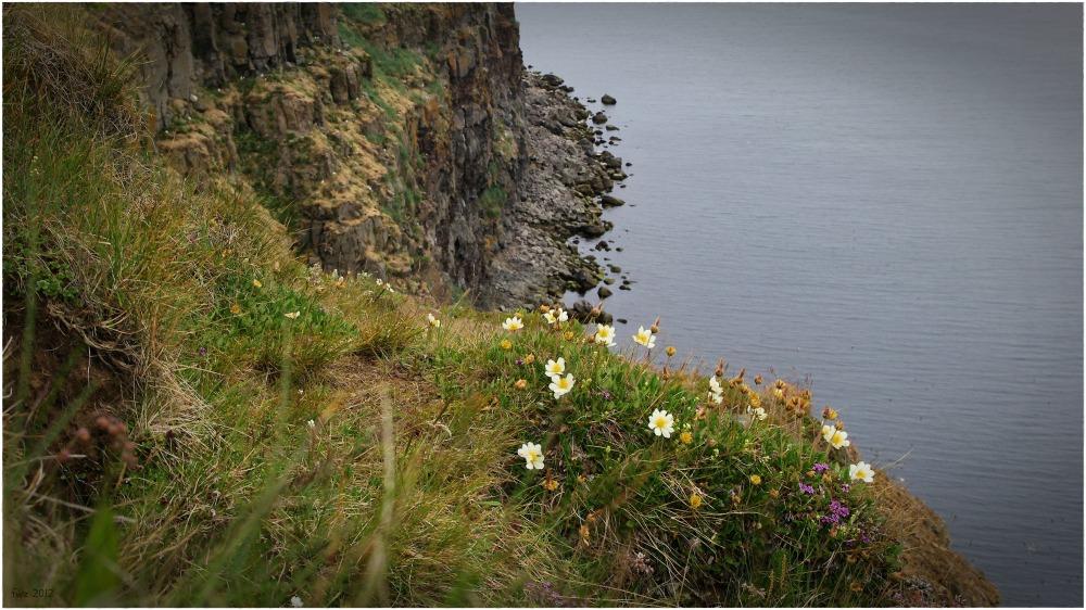 iceland, öxarfjörður , cliffs, birds, flowers