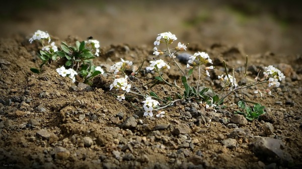 iceland, tiny white flowers on lava, viti