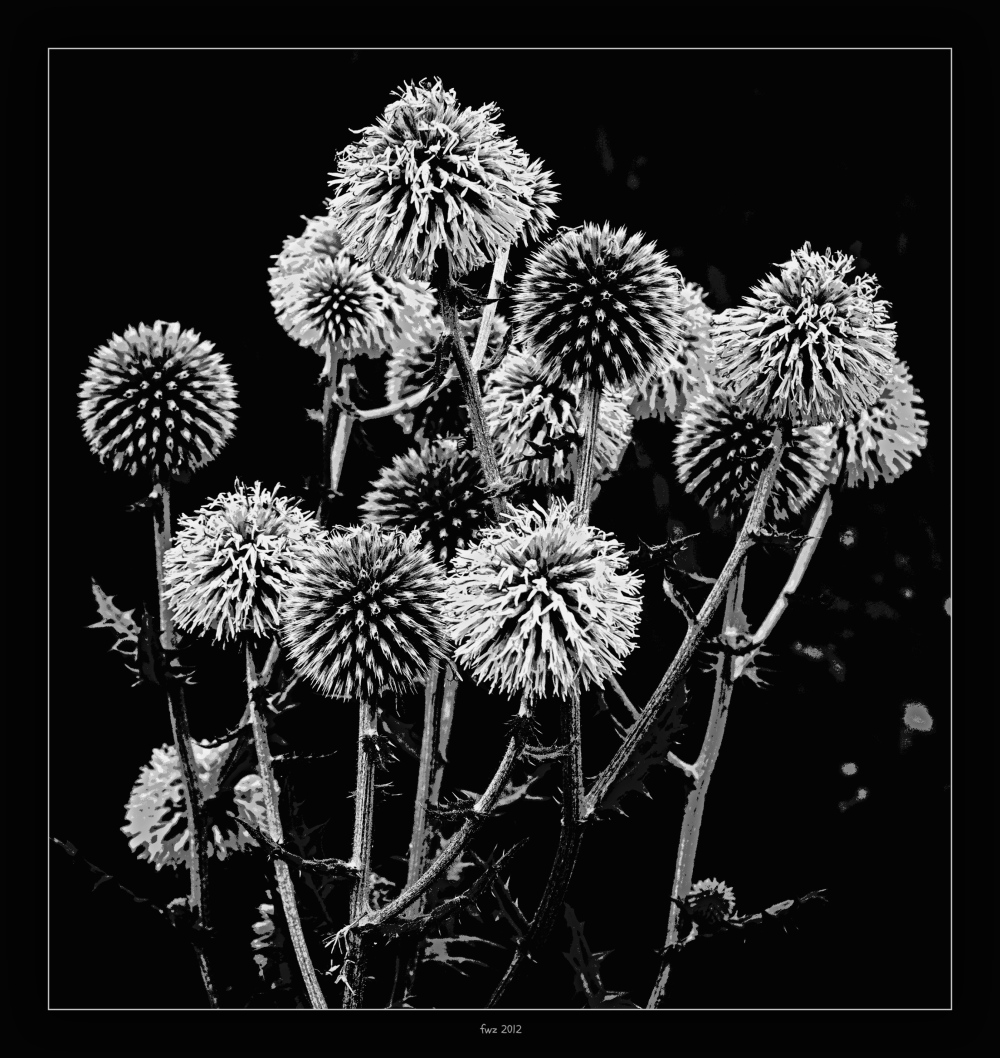 summer, thistle, bw, posterised, gritty