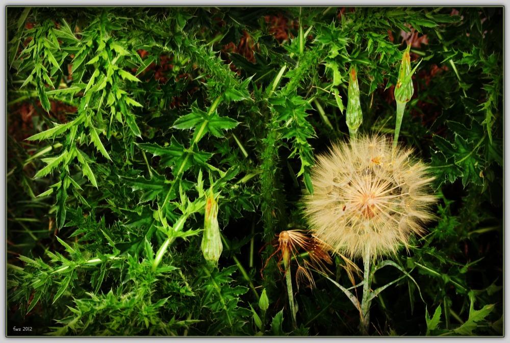 summer, thistles, meadow salsify, buds, urbane