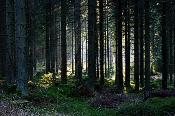waldviertel, karlstift, spruce forest, sun rays