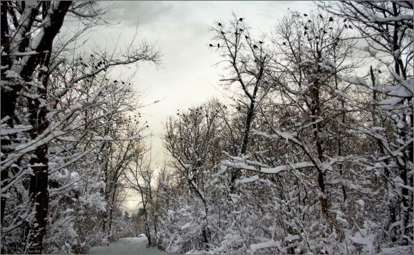 winter, snow, trees, crows, wilderness