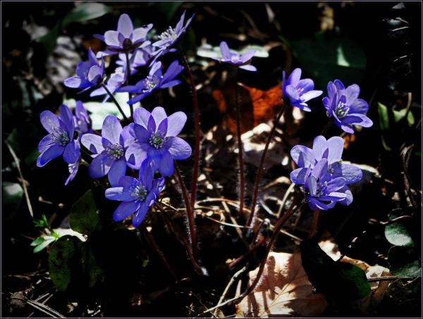 liverwort, hepatica nobilis, spring, hdr