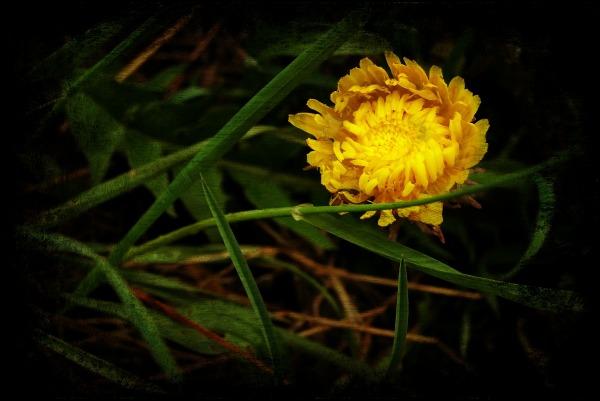 spring, dandelion, texture