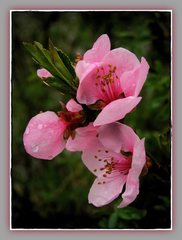 spring, pink apple blossom