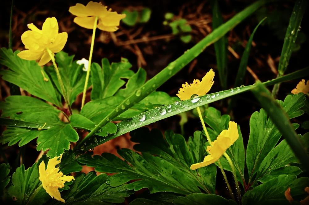 spring, yellow wood anemone, raindrops