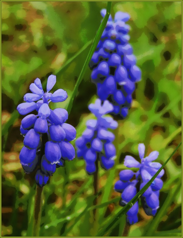 spring, grape hyacinths, posterised