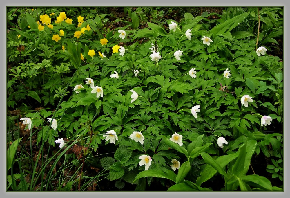 spring, wood anemones, forest floor