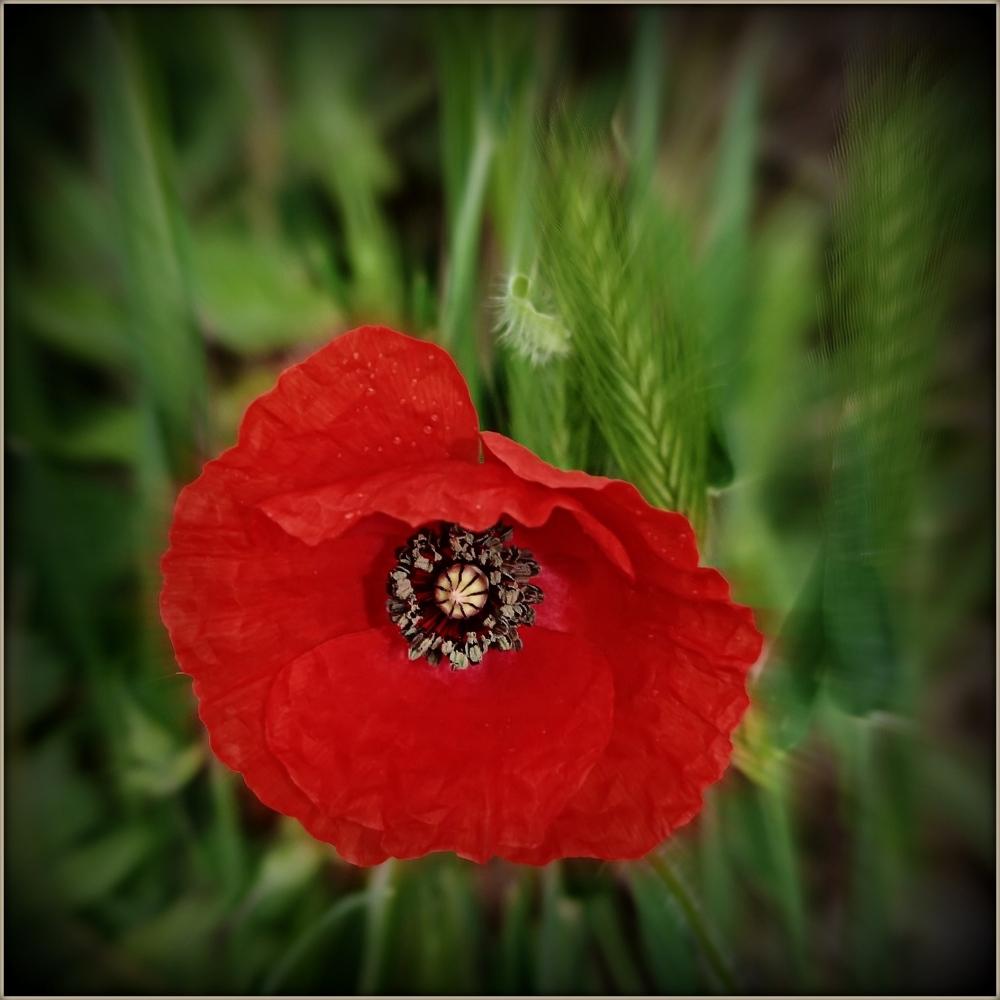 spring, red poppy, focus