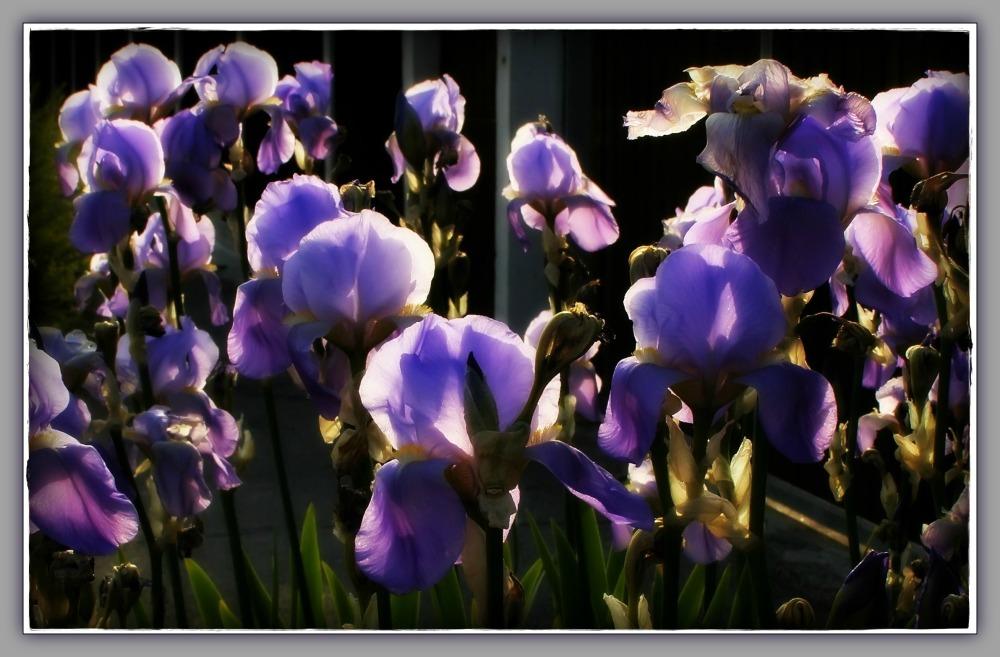 spring, blue iris, orton