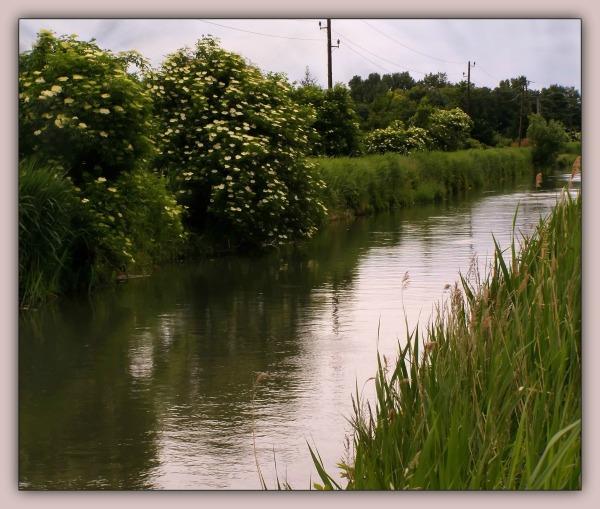 canal, spring, elderberry bushes