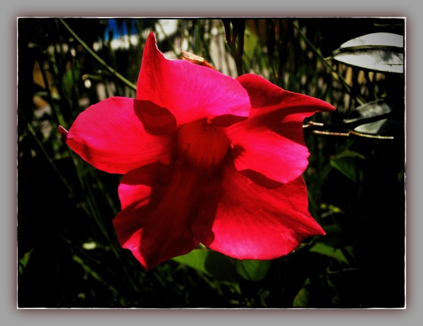 summer, garden, sundaville-red, cross-vig