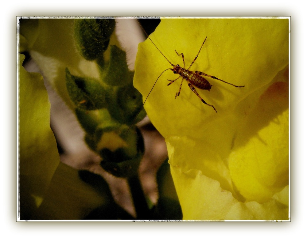 summer, garden, snapdragon, insect