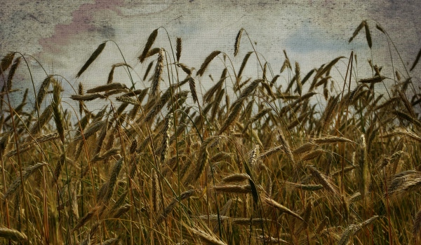 summer, wheat field, sky, texture