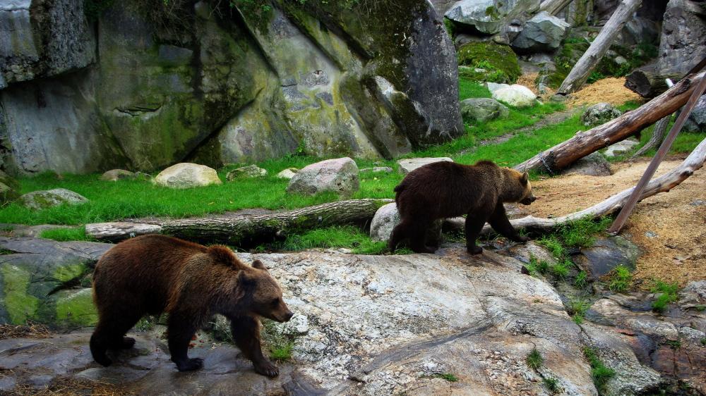 sweden, stockholm, djurgarden, brown bears