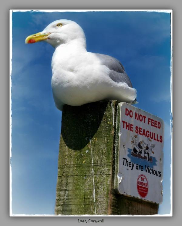 england, cornwall, looe, seagull, warning sign