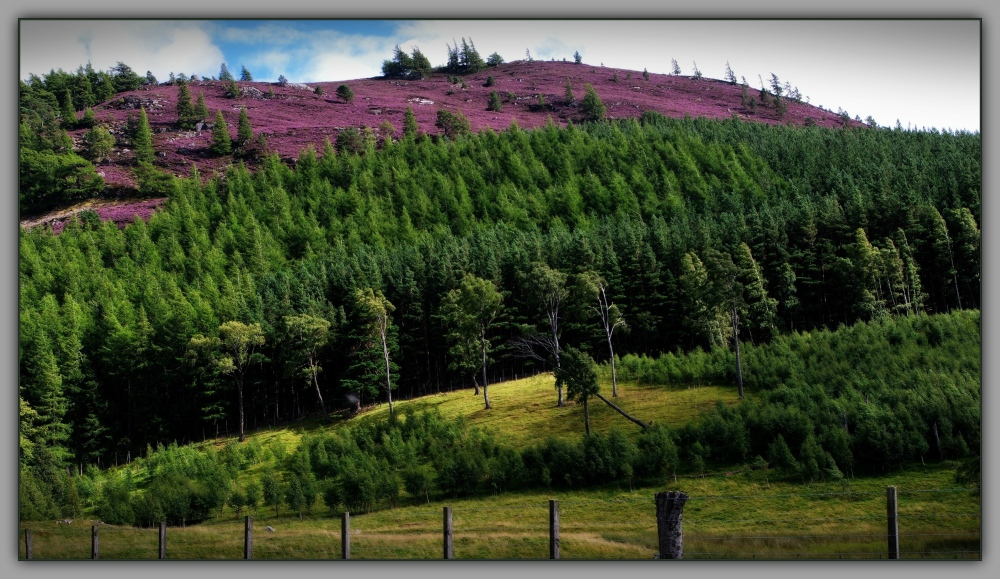 scotland, deeside, blooming heather, hills
