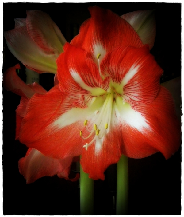 my new amaryllis