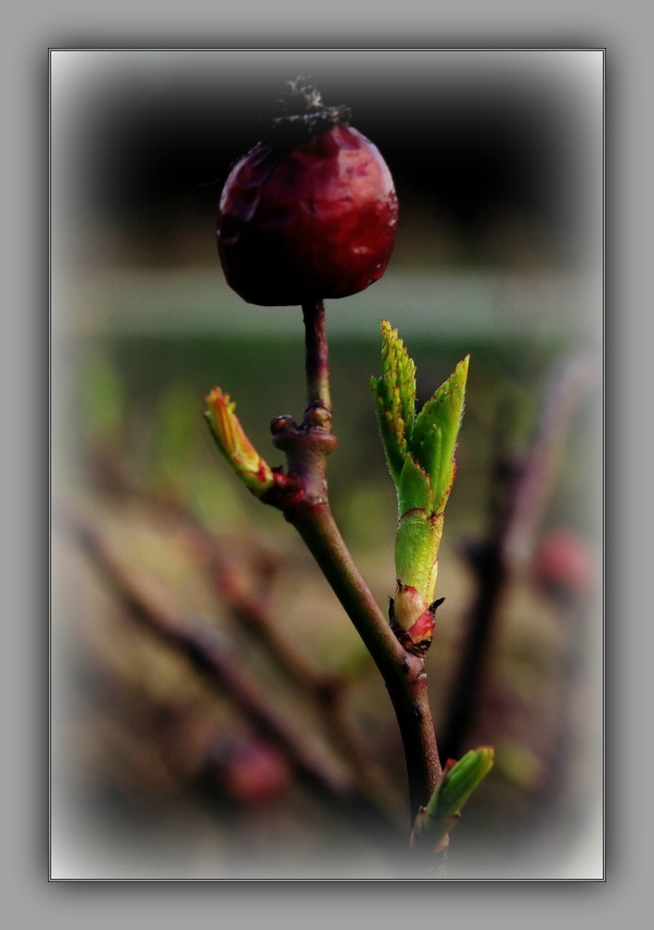 spring, old rose hip, young leaves