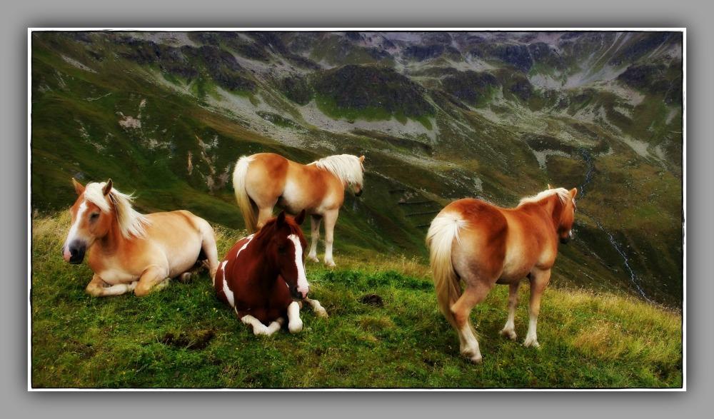 tirol, fiss, mountain pasture, haflinger horses
